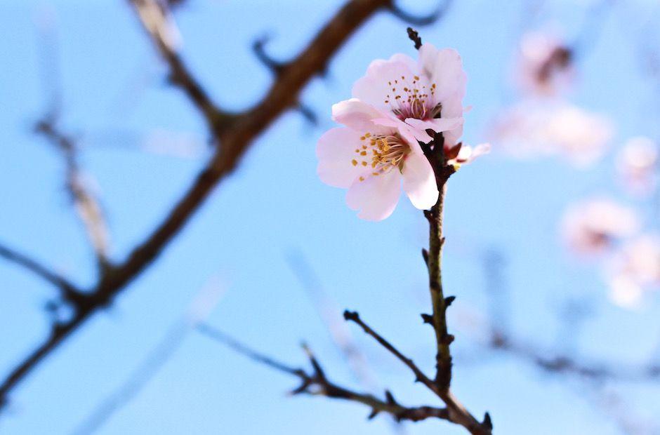 Corona con flores de almendro